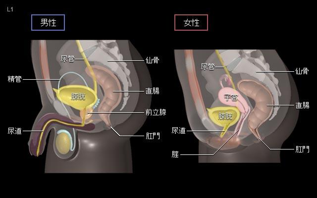 女性膀胱位置图片_膀胱がん 基礎知識:[国立がん研究センター がん情報サービス ...
